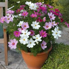 Potted cosmos is nice and full with some kind of trailing plant around edges?