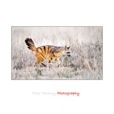 """""""Aardwolf,"""" by Peter Delaney -- Click through to read about this small, insectivorous mammal native to Southern Africa."""
