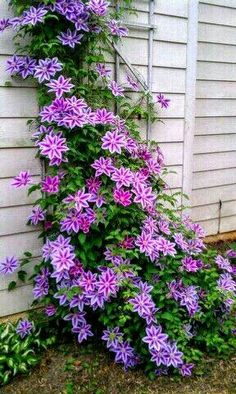 I would love to have clematis covering our hurricane fence.