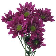 Daisy-Balsas-Purple-Stem-350_02810a88.jpg (350×350)