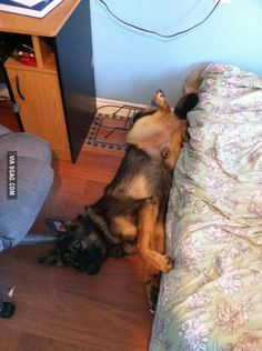 My German Shepherd isn't allowed on my bed. When I caught him he rolled off and tried to act casual...