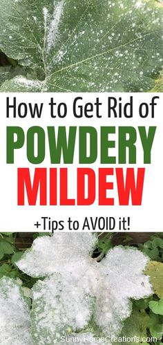 Learn how to get rid of and prevent powdery mildew on your squash leaves and other vegetable leaves. Zucchini leaves get powdery mildew easily, find out how to get rid of it. Veg Garden, Garden Pests, Easy Garden, Veggie Gardens, Vegetable Gardening, Garden Ideas, Gardening For Beginners, Gardening Tips, Powdery Mildew Treatment