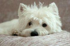 West higthland white terrier
