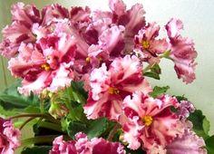 African Violet ~~ LE-VESNYANKA ~~ plant Russian / Ukrainian Variety!