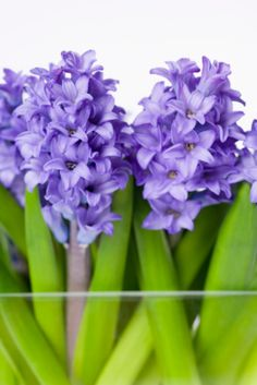 Potted hyacinths are sold as seasonal flowering plants. You can make the flowers bloom earlier in the season than they do naturally, usually in late winter or early spring. The...