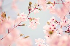looove cherry blossoms