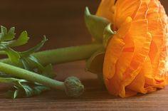 Ranunculus, Flower, Orange