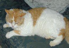 Selkirk Rex Cat...