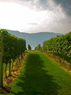 Kelowna vineyard
