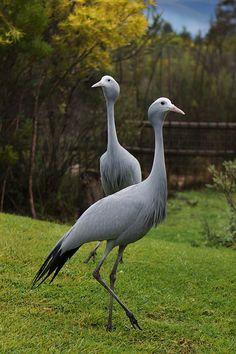 Blue Cranes at Tenikwa Wildlife Awareness Center, Plettenberg Bay, South Africa