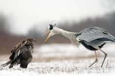 grey heron is going to beat you down   (photo by Adam Fichna)