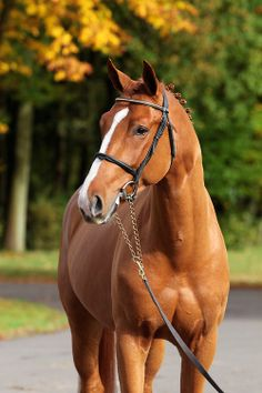 vickaf:  welovewarmbloods:  Comilfo Plus Z - Zangersheide by Comme Il Faut  so handsome
