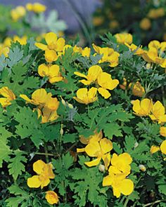 Poppy, Celandine Wood.  From Maxine.  Blooms mid spring until heat of summer.