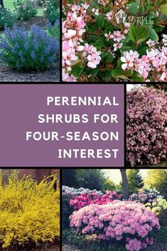 Perfect for front/side beds and back yard. Perennial shrubs add a pop to your landscape garden plan | PrettyPurpleDoor.com #LandscapingPlans