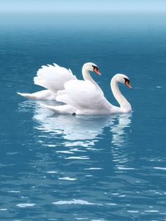 Gorgeous beautiful swan photo of birds. Beautiful Swan, Beautiful Birds, Animals Beautiful, Beautiful Pictures, Pretty Birds, Love Birds, Swans, Vogel Gif, Animals And Pets