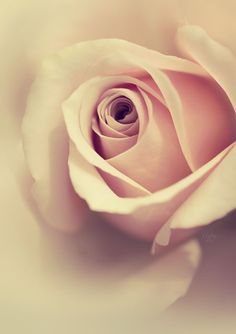 Vintage rose by tigerelune