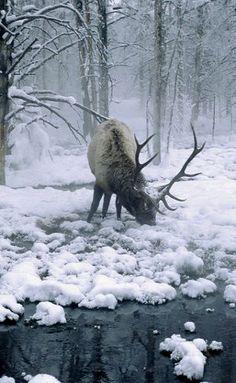 bull elk in winter..