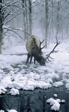 bull elk in winter..