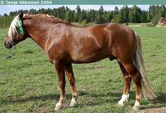 Finnhorse - stallion Joka-Veto