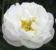 Hollingsworth Peonies - Miss America