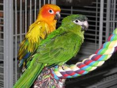 My dream: to have a sun conure and a hahns macaw and they get along perfectly