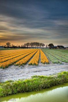 Tulips, South Holland, The Netherlands  #blueprint #netherlands http://www.blueprinteyewear.com/
