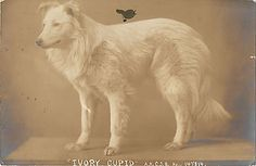 Vintage photo of a snow white Collie named Ivory Cupid.  Note the AKC Stud Book number.