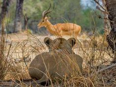 A lioness stalking its prey. Well camouflaged in the dry savannah habitat, the lion waits for her op... - Courtesy Officina Libraria