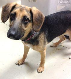 Meet Darling a Petfinder adoptable German Shepherd Dog Dog | Decatur, AL | Darling is a black and tan female German Shepherd and Beagle mix. She is approximately 6 months...