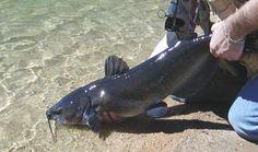 Blue Catfish Release