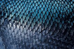 Closeup photo of Chum salmon fish scales, Sitka, Alaska.   Doug Wilson