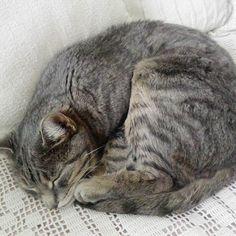 #kisu #kissa #nukkuu #harmaaraidallinen