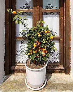 Laranjinha-kinkan. A fruta que se come a casca ao invés da polpa. Foto de Vassil Tzvetanov