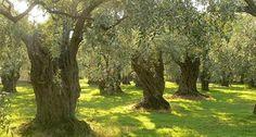 Tek bir zeytin ağacı sanayiden ve madenden daha değerlidir Ülke zeytinciliğinin sonunu getirecek bir yasa tasarısı,Türkiye Büyük Millet Meclisi'nde görüşülüyor. Bilim Sanayi ve Teknoloji Bakanlığının, üretim […]