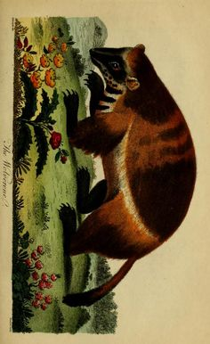 Wolverine, Universal System of Natural History: Including the natural history of man, Ebenezer Sibly & Carl von Linné, 1794.