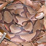 Dealing with snakes - a variety of different resources about snakes in Florida, including how to identify our 6 venomous species, how to prevent encounters with them, and dealing with snakes in residences and schools.