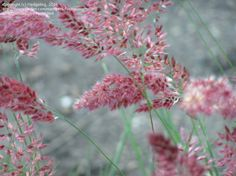 Full size picture of Ruby Grass, Bristle-leaved Redtop 'Savannah' (Melinis nerviglumis)  got it.  Want to remember to collect seed pods.  Really not supposed to be hardy in zone 7