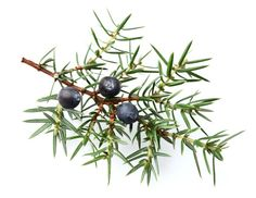 Pretty color illustration of Juniper branch and berries.