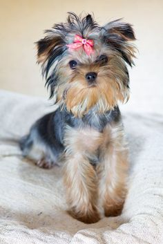 Adorable Yorkshire Terrier waiting for a hug