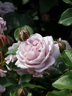 'Gletscher' | Floribunda, Hybrid Tea Rose. Reimer Kordes (Germany, 1955) | Flickr - ©  azucargeminis