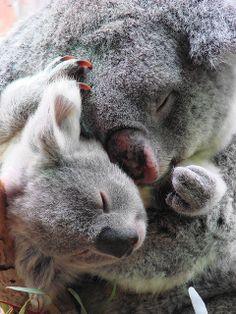 Marsupiali/Koala(o Fascolarto- Phascolarctos Cinereus): Cute Funny Animals, Cute Baby Animals, Animals And Pets, Wild Animals, Beautiful Creatures, Animals Beautiful, The Wombats, Australia Animals, Mundo Animal