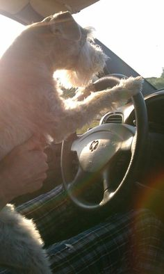 my dog driving