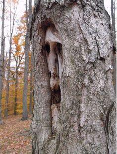 Bilderesultat for natural tree faces Haunted Tree, Spooky Trees, Weird Trees, Tree People, Tree Faces, Tree Carving, Wood Carving, Old Trees, Unique Trees