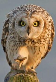 The human being is highly superstitious and suggestible. Most are afraid of owls. O ser humano é altamente supersticioso e sugestionável. A maioria tem medo de corujas. Beautiful Owl, Animals Beautiful, Cute Animals, Owl Photos, Owl Pictures, Nicolas Vanier, Short Eared Owl, Funny Owls, Owl Bird