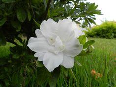 Flores do outono de 2015 - Azaléia