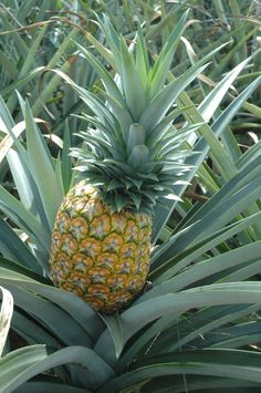 Pineapple-can be sweet/sour but very juicy