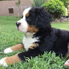 Bernese Mountain, Mountain Dogs, Cute Baby Animals, Swagg, Tequila, Super, Animal Pictures, Cute Babies, Pets
