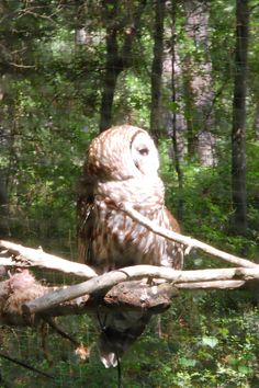Mr. Owl- Myrtle Beach