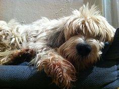 Wilf - cutest dog ever