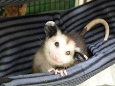 20-opossum-best-friend